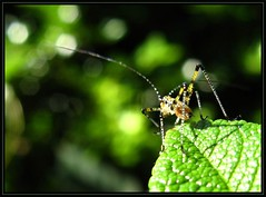 IMG_4292 Screeching Halt 6-27-11 (arkansas traveler) Tags: katydid katydidnymph nature naturewatcher natureartphotography bichos bugs insects macro macrolicious bokeh bokehlicious