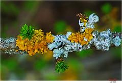 New shoots .. (Lutz Koch) Tags: lärche larch shoots triebe spring frühling flechte flechten lichen lichens tree baum bokeh elkaypics lutzkoch natur nature sprout