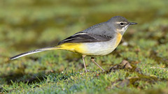 Grey Wagtail (image 2 of 2) (Full Moon Images) Tags: houghton mill nt national trust cambridgeshire river great ouse bird grey wagtail