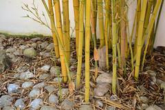 Bambou (Masta Panda) Tags: bambou bamboo zen rock caillou wall mur