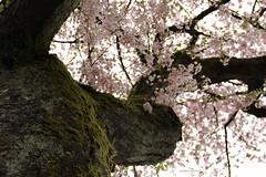 Chillin' under the cherry tree (colorinspirit) Tags: springlove bokeh serenity calmness springvibes underthetree natureart cherryblossomaroma lines beautifulnature blossom branches cherry zen