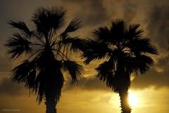 Blocking my view.... (Joe Hengel) Tags: danapoint darkness evening eveninglight eveningskies palmtrees palmtree palm palmfronds socal southerncalifornia sunset seaside goldenstate golden goldenhour glow orangecounty oc outdoor tree trees theoc california ca clouds cloudsorangecounty cloudy silhouette silhouettes blockingmyview
