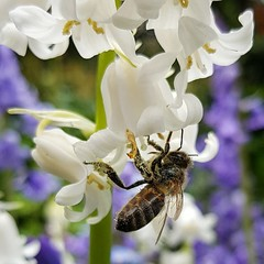 Hanging Around (Geoff Fagan) Tags: bee bees garden flower flowers spring pollen nature macro macrophotography macrodreams closeup