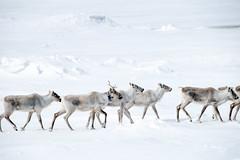 caribou Rangifer tarandus caribou (Paul and Jill) Tags: canada newfoundland fogoisland joebattsarm caribou rangifertaranduscaribou