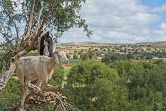 Goats in Trees (jennifer.stahn) Tags: travel travelphotography goat tree marrakesch marrakech marrakesh essaouira maroc marocco marokko nikon jennifer stahn landscape animal selten niceview
