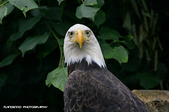 Bald eagle - Olmense Zoo (Mandenno photography) Tags: dierenpark dierentuin dieren animal animals belgie belgium bald balen baldeagle sea eagle american olmense olmensezoo olmen
