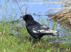 leucistic crow (miketabak) Tags: northwestern crow