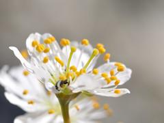 little black in white (nirak68) Tags: trittau schleswigholsteinkreisstormarn deutschland ger 099365 blüte blossom schlehdorn prunusspinosa schlehendorn schlehe heckendorn schwarzdorn deutscheakazie prunus steinobstgewächs amygdaleae rosengewächs rosaceae blackthorn 2017ckarinslinsede 7dwf käfer
