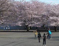 P1090107_T cherry blossom and children (kneo_y) Tags: cherry colors composition