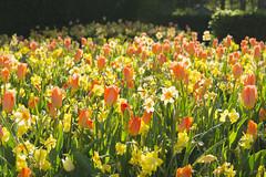 Best in Show - Flower Lover Dream (aaronrhawkins) Tags: flowers floral daffodil tulip orange yellow green thanksgivingpoint tulipfestival utah morning spring garden sunlight backlit shadows color petal aaronhawkins
