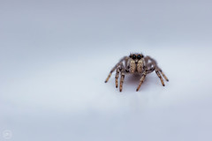 Labor Springspinne (Dirk Hoffmann Fotografie) Tags: spider springspinne spinne clean macro insect eyes nature