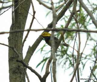 Black-throated Green Warbler_N1933