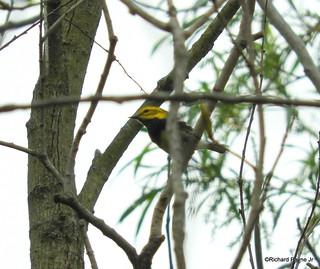 Black-throated Green Warbler_N1933