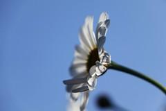 Summer feeling (peeteninge) Tags: flower flora bloem margriet marguerite bluesky blauwelucht closeup sonyrx10 sony nature natuur