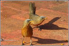 6837 - rufous babblers (chandrasekaran a 40 lakhs views Thanks to all) Tags: greyheadedbabblers birds nature kodaikanal tamilnadu india canon powershotsx60hs