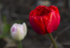 MG_2204171 (jc.flac) Tags: tulipe fleur macro bokeh rouge