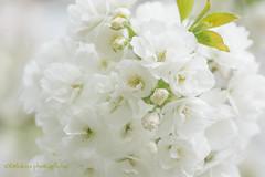 White Bouquet (littlekiss☆) Tags: sakura spring cherryblossoms fullbloom vancouver littlekissphotography