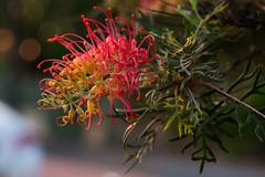 Grevillia (wallygawr) Tags: bev grevillea helios4425812 flora flowers