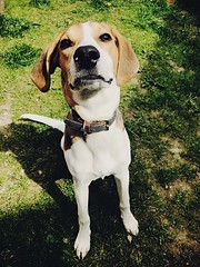 My handsome boy (jasminefisher1) Tags: summer garden loyal handsome pet animals whippet cross beagle puppy dog