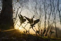 Golden hour (margie6920) Tags: ardennen voorjaar goldenhour goudenuurtje bos licht zonlicht sunset zonsopkomst