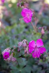 Geranium x cantabrigiense 'Crystal Rose' (MGormanPhotography) Tags: geranium cantabrigiense crystalrose geraniaceae perennial cranesbill rose pink flower bloom black purple dark green foliage patent