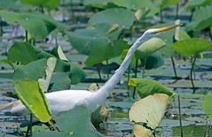Great Egret (1krispy1) Tags: egrets greategret texasbirds