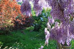 Au jardin (Yvan LEMEUR) Tags: jardin végétation fleurs glycine printemps couleurs saisons