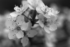 Plum Blossoms (jvde) Tags: 105mmf4micronikkor d200 flower gimp nikon nikond200