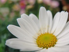 Have a lovely weekend :-) ( Bo ) Tags: flower macro garden bokeh daisy margarite canong16