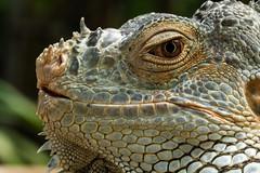 (angolming@gmail.com) Tags: animal lizard binatang kadal angolming