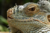 (angolming@gmail.com) Tags: animal lizard binatang kadal angolming