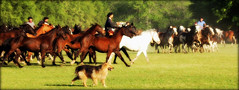 El perro campero... (Eduardo Amorim) Tags: horses horse dog chien co southamerica argentina cane criollo caballo cheval caballos perro hund cachorro cavalos pferde herd cavalli cavallo cavalo gauchos pferd pampa chevaux gaucho sudamerica  amricadosul campero amriquedusud provinciadebuenosaires  gachos  sudamrica sanantoniodeareco suramrica amricadelsur areco sdamerika gregge crioulo troupeau caballoscriollos herde criollos  tropillas pampaargentina camperos americadelsud tropilhas tropilla crioulos cavalocrioulo americameridionale holidaysvacanzeurlaub tropilha caballocriollo campeiros campeiro eduardoamorim cavaloscrioulos iayayam yamaiay pampaargentino