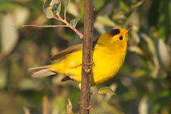 california male birds unitedstates adult morrobay locations wilsonswarbler identifiers wilsoniapusilla cloisterspond