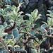 Au jardin, pittosporum tenuifolium