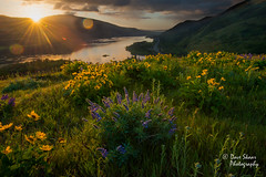 The Arrival (NW Vagabond) Tags: flowers sunrise river dawn columbia gorge lupine rowena balsamroot 2014 tommccall