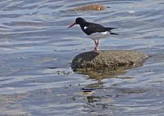 Tjaldur (Bricheno) Tags: bird island scotland clyde escocia oystercatcher arran isleofarran szkocja schottland lamlash scozia cosse  esccia   bricheno scoia
