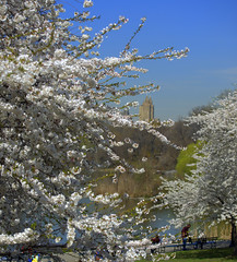 Happy Earth Day 2014! Yoshino Cherry (JamesPolk) Tags: centralpark blossoms yoshinocherry earthday2014