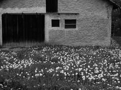 Sad Flower (lukastheasian) Tags: flowers white black fenster wiese haus lwenzahn