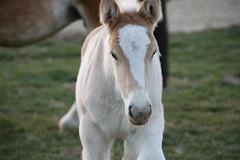 Poulain(s) (Gypsy Cob) Tags: drafthorse foal foals poulain trait fohlen veulen poulains ebol trekpaard chevaldetrait ardennais zugpferd searrach traitardennais ebolion ebeulien ebeul poulainardennais searraich searraigh