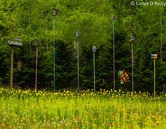 Garden artistry (Conor O'Reilly) Tags: flowers trees summer colour green art nature countryside nikon natural may korea quirk 2014 gangwondo herbnara pyeongchang nikkor35mmf18 gangnueng d5100