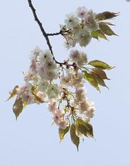 Sakura (Lanzen) Tags: plant flower japan cherry blossom kii sakura nippon peninsula prunusserrulata
