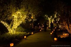 51 LuminariasPaule Hjertaas (paule48) Tags: trees light phoenix path arizonausa lasnochesdelasluminarias desertbotanicalgardengarden