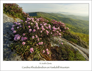 Carolina Rhododendron on Hawksbill Mountain by R. Keith Clontz