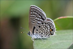 IMG_3481 Anthene amarah (Raiwen) Tags: lycaenidae polyommatinae anthene antheneamarah butterfly africa westafrica guinea moyenneguinée bushland butterfliesofthefoutadjalon