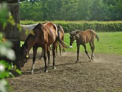 IMG_7303 (RRT:D*:D*) Tags: horses italy horse animal animals cavalli cavallo animali animale rrtdd