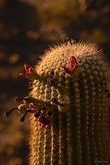 saguaro006 (radical dawg) Tags: arizona cactus southwest nature desert saguaro sonorandesert casagrande