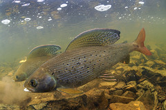Glorious Grayling! (Fish as art) Tags: travel light fish canada expedition nature water alaska fishing underwater unique north arctic adventure yukon northwestterritories northern naturfotos natuurfotografie northerncanada outdoorphotography fishworld canadianarctic underwaterlight arcticgrayling arcticexpedition deepnorth northernfishes arcticfishes paulvecseiphotography