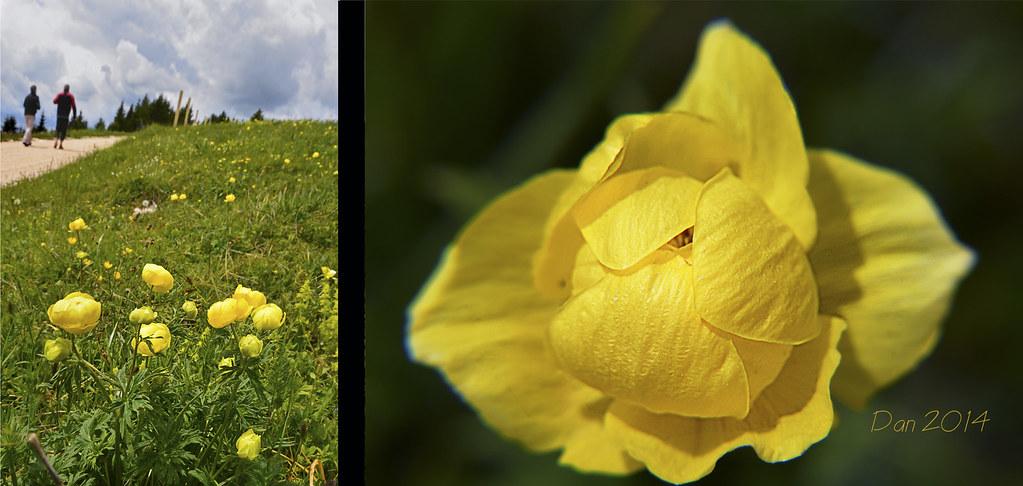 Fiori Gialli Botton Doro.The World S Best Photos Of Fiori And Ranuncoli Flickr Hive Mind