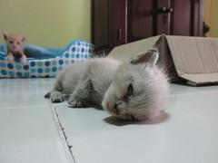 Orphaned Siamese Kittens (1) (Jinky Dabon) Tags: cats pets siamese kittens straycats