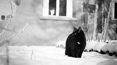 Katzenbild <explored> (juevogel) Tags: schnee katzen blick kater tier katzenauge naundorf tieportrait